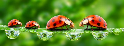 Ladybugs family. Ladybugs family running on a grass bridge over a spring flood royalty free stock photography