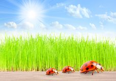 Ladybugs family on The Road. Royalty Free Stock Photos