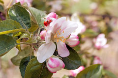 Ladybugs on a flower apple trees Stock Images