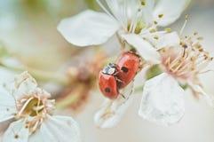 Ladybugs on flowers. A couple of ladybugs on flowers. background royalty free stock images