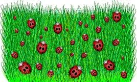 Ladybugs in Green Grass Stock Photos