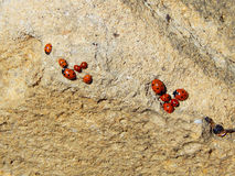 Ladybugs. Royalty Free Stock Photo