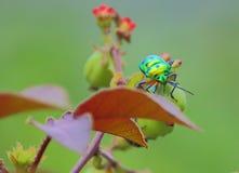Ladybugs Stock Images