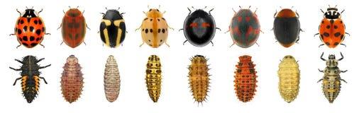 Free Ladybugs, Ladybird Beetles Royalty Free Stock Photo - 216913905