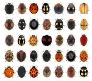Free Ladybugs, Ladybird Beetles Stock Photos - 216914523