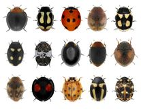 Ladybugs ladybird beetles set Stock Image