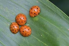 Ladybugs, Ladybirds Стоковые Изображения