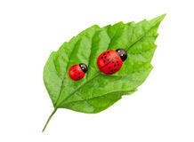Ladybugs on the leaf Stock Photos