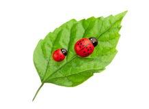 Ladybugs on the leaf Stock Photos