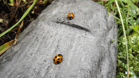 Ladybugs in a log Stock Images