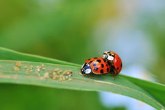 Ladybugs in love Royalty Free Stock Images