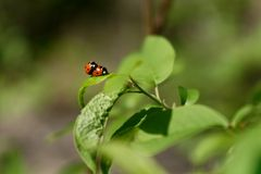 Ladybugs in love Stock Photo