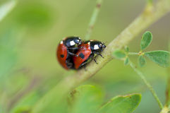 Ladybugs love on a branch Royalty Free Stock Photo