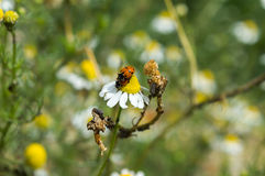 Ladybugs making love on a chamomile flower Royalty Free Stock Images