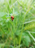 Ladybugs Mating Stock Images