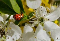 Ladybugs mating Royalty Free Stock Images