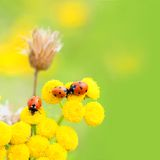 Ladybugs in meadow stock photography