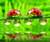 Ladybugs meeting over water level. Stock Image