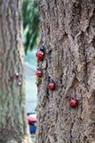 Ladybugs Stock Photos