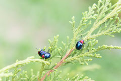 Ladybugs in ourdoors , Insect on the tree Stock Images