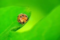 Ladybugs peek from foliage Royalty Free Stock Photo