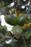 Ladybugs que acoplam-se no conjunto do Pecan Imagem de Stock