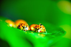 Ladybugs in Rain. Macro shot of two lady bugs in rain Stock Photography