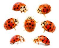 Ladybugs (septempunctata de Coccinella) Imagem de Stock Royalty Free