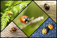 Ladybugs in shapes and sizes Stock Image