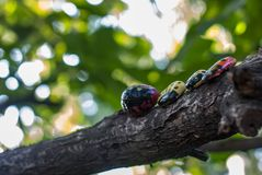 Ladybugs sitting on a branch of a walnut tree stock images