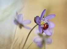 Free Ladybugs Sitting On Liverleaf Royalty Free Stock Image - 19579246