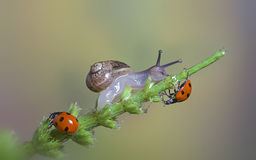 Ladybugs and snail Royalty Free Stock Images
