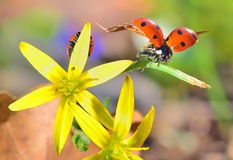 Ladybugs on spring  flowers Royalty Free Stock Photos