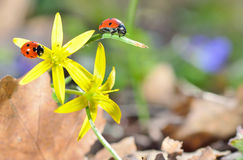 Ladybugs on spring  flowers in forest Stock Photo