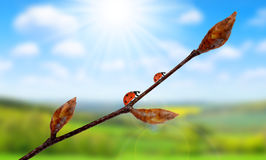 Ladybugs on spring twig with buds. Stock Photos