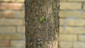 Ladybugs and stink bug on a tree, and brick wall in the background stock video footage