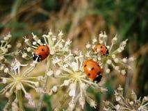 Ladybugs Royalty Free Stock Photography