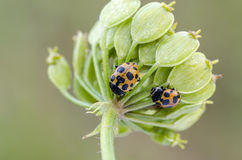 Ladybugs. Two ladybugs (Hippodamia notata) feeding. Close up royalty free stock images