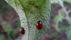Ladybugs. Two ladybugs on the leaf Royalty Free Stock Image
