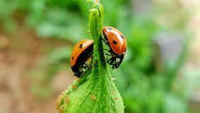 Ladybugs Stock Images