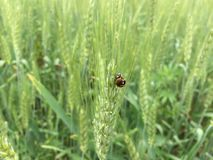 Ladybugs. On wheat plant Stock Photography