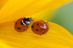 Ladybugs on yellow leaf Royalty Free Stock Photo