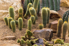 Ladyfinger cactus Stock Photos