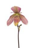ladyhäftklammermatare Fotografering för Bildbyråer