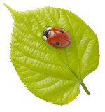 Ladyleaf. Ladybird on a young lime leaf Stock Photos