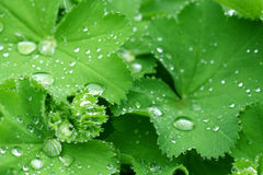 Ladys mantle. Water drops on the leafs of a Lady's mantle Royalty Free Stock Photo
