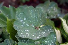 Ladys mantle or Alchemilla vulgaris herbaceous perennial wildflower plant with large dark green leaves which collect sparkling. Ladys mantle or Alchemilla stock image