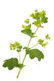 Ladys Mantle Herb. With flowers, isolated over white background. Alchemilla mollis royalty free stock photography