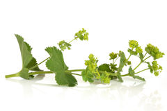 Ladys Mantle Herb. In flower, isolated over white background. Alchemilla Stock Photos