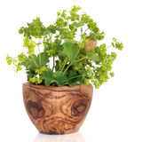 Ladys Mantle Herb. With  flowers in an olive wood mortar with pestle, over white background. Alchemilla vulgaris Stock Photos